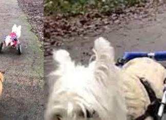 dog in wheelchair guides blind fox